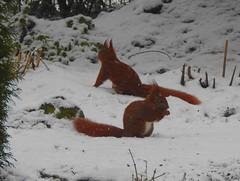 2 Eichhörnchen im Garten (Sophia-Fatima) Tags: mygarden meingarten naturgarten gardening schnee snow eichhörnchen squirrel