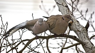 Care and Affection:  Dove Pair Perched on an Aspen Tree - VI