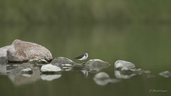 Birdscape- Spotted Sandpiper Style (Chantal Jacques Photography) Tags: spottedsandpiper wildandfree bokeh birdscape