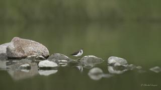 Birdscape- Spotted Sandpiper Style