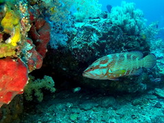 Grouper (markb120) Tags: animal fauna fish coral water sea underwater diving scuba