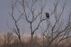 Eagle at Kaw Lake, Oklahoma (Peeb-OK) Tags: eagle lake sky sunset nature wildlife bird tree nikon contrast natural national