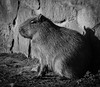 Capybara in mono (littlestschnauzer) Tags: capybara mono sunbathing sat chester zoo uk nature 2018 rodent largest
