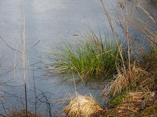 Ice and grasses in Burlo-Vardingholter Venn