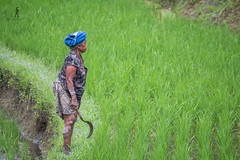 Rice Farmer - Bali, Indonesia (Guiyomont) Tags: rice bali farmer field indonesia asia travel work