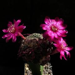 Sulcorebutia rauschii (Pequenos Electrodomésticos) Tags: cactus cacto flower flor sulcorebutia sulcorebutiarauschii