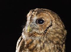 Tawny Owl Headshot