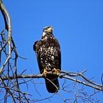 Bald Eagle - 2nd. Winter thumbnail