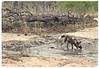 """Slurp! Slurp!"" (The Spirit of the World ( On and Off)) Tags: wilddog painteddog raresighting dog canine safari gamedrive gamereserve ngala timbavati southafrica africa nature wildlife"