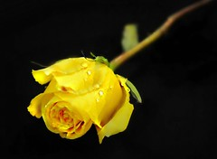 Some painters transform the sun into a yellow spot, others transform a yellow spot into the sun.....Pablo Picasso (nushuz) Tags: sunnyyellow smileonsaturday sopretty yellowrosebud onblack droplets