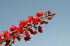 Veraneras (Mabelín Santos) Tags: bougainvilleas bougainville veranera trinitaria flor flower red redflower
