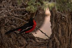 DSC_3979 (Wildlife on Show) Tags: africa birds country crimsonbreastedshrike kalahari kgalagaditransfrontierpark shrikes southafrica nature wildlife