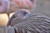 Juvenile caribbean flamingo (Zara Calista) Tags: guvenile flamingo caribbean chick bird portrait closeup aquatic nikon nikkor
