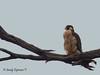 Peregrine Falcon, Falco peregrinus tundrius (Sandy Espinoza F) Tags: birds birding birdwatching migratorybirds urbanbirds peregrinefalcon avesquito quito pichincha ecuador