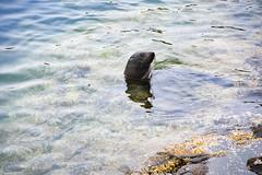 (M J Adamson) Tags: katikipoint moeraki seal seals furseals mammals newzealand nz