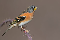 brambling (leonardo manetti) Tags: uccello animale wild wildlife nature bird birds animal animals field cloudy cloud brambling