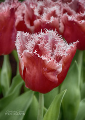 A fringed tulip (ChrisKirbyCapturePhotography) Tags: tulip fringedtulip red redflower rhsspringflowershowcardiff chriskirbycapturephotography