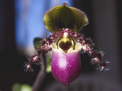 Paphiopedellum (merlinmax991) Tags: paphiopedellum flowerphotos macroshot awesome sweet olympus olympuscamera macrophotography macro macromode zoomedin upclose orchid flower coolflower cool picture pic photos photography photo