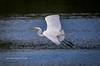 Great Egret Flight (tclaud2002) Tags: egret greategret bird wadingbird wildlife flight flying nature mothernature animal phippspark outdoors greatoutdoors stuart florida usa