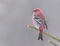 Pine Grosbeak m (sspike@rogers.com) Tags: pinegrrosbeak finch wildlife ontario steverossi nature ice green boreal forest wildlfephotography winter north snow woods canon eos 800mm spruce tree red