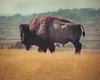 American Bison (Chris Mahoney - AACStudio) Tags: bison badlands south dakota animal wildlife photography photo nature grass mountains travel canon