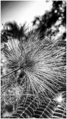 come piuma, altra prospettiva - like feather, other perspective (Massimo Vitellino) Tags: flora flower tree nature park outdoors macro noperson hdr blackandwhite abstract contrast conceptual lights shadows