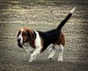 Pie This Way (Cindy Roy's Photography) Tags: animal dog grass pet hound field green cute 7dwf animals pets beagle farm sweet friend nature