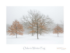 Oaks in Winter Fog (baldwinm16) Tags: il illinois midwest winter season oak fog morning february snow nature natureofthingsphotography