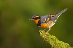 Varied Thrush (Martin Dollenkamp) Tags: birds canada variedthrush vancouverisland ixoreusnaevius britishcolumbia nature