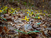 Trout Lily (Brandon Westerman WNP) Tags: trout lily native flower wildflower yellow nature forest woods chattahoochee river national recreation area georgia bokeh