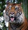 Amazing (Southern Darlin') Tags: tiger sumatran louisville kentucky zoo animal wild cat feline