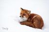 Beautiful Fox (explored) (Dan King Alaskan Photography) Tags: red fox redfox vulpesvulpes prudhoebay alaska tundra snow beautiful canon50d sigma150600mm