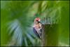 Golden naped woodpecker (G. Postlethwaite esq.) Tags: arenal costarica dof lafortuna beyondbokeh bird bokeh centralamerica depthoffield feathers goldennpedwoodpecker green photoborder post selectivefocus trees
