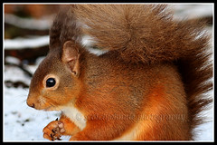 IMG_0208 Red Squirrel (Scotchjohnnie) Tags: redsquirrel sciurusvulgaris squirrel squirrelphotography rodent mammal wildlife wildlifephotography wildandfree wildanimal nature naturephotography naturewildlifeandbirds canon canoneos canon7dmkii canonef100400f4556lisiiusm scotchjohnnie northeastengland closeup portrait
