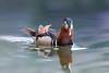Mandarin Duck (Patricia Ware) Tags: aixgalericulata california canon ef400mmf4doisiiusmlens handheld male mandarinduck perchingduck httppwarezenfoliocom ©2017patriciawareallrightsreserved unitedstates us specanimal
