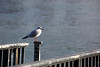 sunday walk 14-01-2018 010 (swissnature3) Tags: rhine switzerland basel huningue france animals nature birds gull