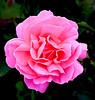 Le Havre (Geert Van Keymolen) Tags: lehavre lesjardinssuspendus normandia normandie normandië normandy frankrijk fr rose fleur bloem pink france nature natuur natur blume roos