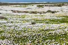 Flowering desert (davidthegray) Tags: flower sudafrica westcoastnationalpark southafrica westcoastdc westerncape za