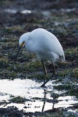 IMG_2914 (armadil) Tags: mavericks beach beaches californiabeaches bird birds egret snowyegret