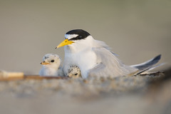 Rise and Shine (santosh_shanmuga) Tags: least tern endangered bird protected threated shorebird seabird baby chick cute fluffy animal nature wild wildlife outdoor outdoors nest nikon d3s 500mm nj new jersey newjersey beach sand shore ocean jerseyshore