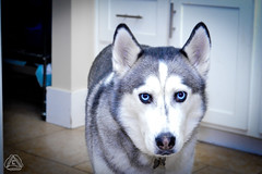 _DSC0053 (classic77) Tags: husky dog sled spitz siberian