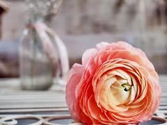 T H E   E S S E N C E   O F  L I F E (Vivi Black) Tags: photography stillleben vintage pure blume softcolors pastel macro stilllife beauty flower