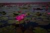 red lotus sea_143 (snappitt photography) Tags: redlotussea redlotusthailand red lotus sea udon thani