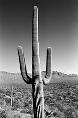 Tucson Mountain Park (dpsager) Tags: arizona bw blackwhite cactus dpsagerphotograph eos1v film kodak saguaro trix400 tucson tucsonmountainpark