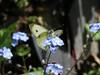 CKuchem-5882 (christine_kuchem) Tags: blüte blüten falter frühjahr frühling garten insekt insekten kohlweisling nahrung natur naturgarten nektar pflanze privatgarten schmetterling selbstaussaat sommer tagfalter tier vergissmeinnicht wildpflanze naturnah natürlich wild
