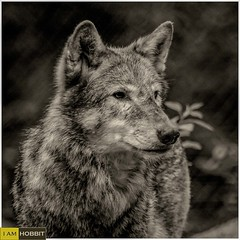 Alpha Male Wolf (draco-man2) Tags: wildlife wolf male bw newforest wildlifepark nikond7100 nikon300mmpf