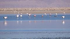 141 Laguna de Chaxa+ los flamencos (roving_spirits) Tags: chile atacama atacamawüste atacamadesert desiertodeatacama désertcôtier küstenwüste desiertocostero coastaldesert