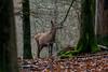 Deer (Joke.Benschop) Tags: animals deer hert jokebenschop nature natuur nikonafs80400mmf4556gedvr nikond7100 reddeer wwwjokebenschopcom