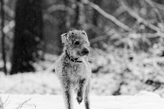 Not sure I want to go (Kangurs1) Tags: winter bedlington whippet margot canon 7d 70200f4l dxo photolab
