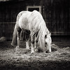 white horse (chris.regg) Tags: white horse horses pferde animal blackandwhite bw blackwhite monochrome farm farmlife